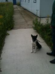Лайка, мальчик, 4 месяца